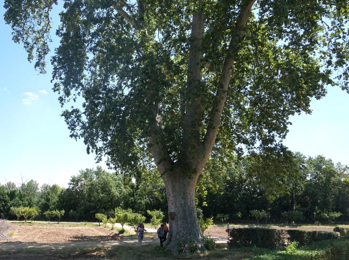 Enorme plátano de sombra en el Jardín de La Isla. Aranjuez