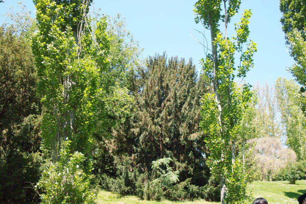 Populus-nigra-Taxus-baccata-Parque-del-Oeste
